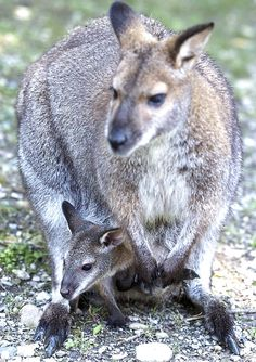 Mama & new baby wallaby at Zoo in Erie, PA; by Greg Wohlford