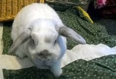 My name is Lambert!  To give me a new home, please contact  zenrabbit@inbox.com