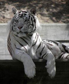 Tigre blanco. http://www.eluniversoanimal.com/felinos%20salvajes/felinos%20salvajes.html