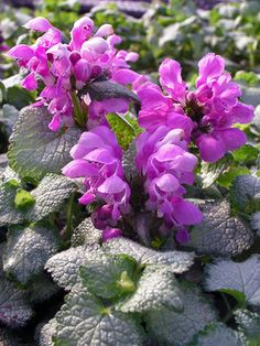 "Lamium Silver Beacon   Spotted Dead Nettle Height: Short 6""  Plant 16"" apart   Bloom Time: Spring to Summer   Sun-Shade: Full Sun to Full Shade   Zones: 3-8  Soil Condition: Normal, Clay   Flower Color / Accent: Pink / Pink"