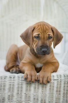 .the worlds best dog, Rhodesian Ridgeback