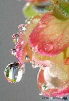 dew drops on petals....