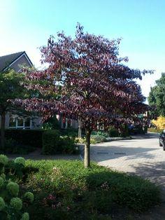 Cornus controversa in herfst