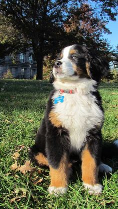 Bernese Mountain Dog -- want one!