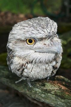 Tawny Frogmouth  - Australian nocturnal owl