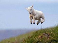 sheep celebrating via frolicking.