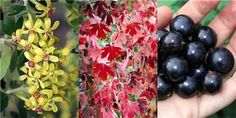 Ribes odoratum (R. aureum) has attractive fragrant spring flowers. Two new varieties are'Black Gem' and 'Black Pearl', selected for their combination of colorful flowers, fragrance, autumn foliage colour and, of course, high quality fruit. These four features give them the common name of Fourberry.
