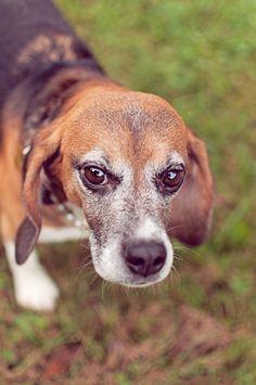 © Sweet Rocket Photography   Daily Dog Tag   Memphis- Beagle-Freedom-Project-Ginger daili dog, dog tags, rocket photographi, sweet rocket