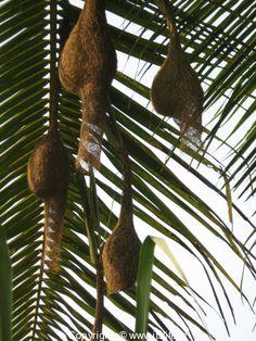 Weaver birds nests