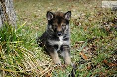 Wolf Hybrid puppy! I will have one! Used to have a pack of them. R.I.P Malo, Asia, Kenya, Diego❤