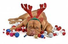 Reindeer dog with Christmas baubles