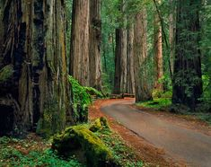 california redwood, state parks, tree, northern california, national parks, armstrong redwood, redwood forest, place, the road
