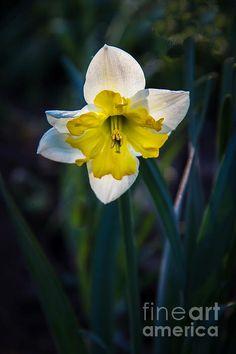 Beautiful Narcissus:  See more images at http://robert-bales.artistwebsites.com/