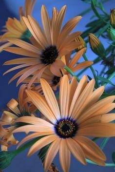 "Orange African Daisy ~ Miks' Pics ""Flowers l"" board @ http://www.pinterest.com/msmgish/flowers-l/"