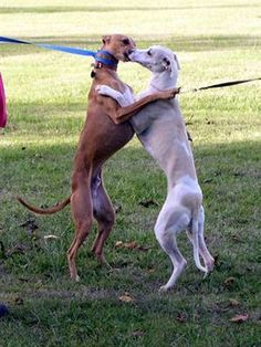 ~ Dancing <3 ~ Greyhounds really do love each other!