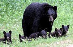 Rare Black Bear Quintuplets Caught on Film!!  image via Tom Sears