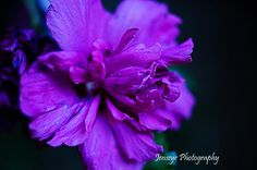 Purple Petals - available as note card or matted print  www.jenseye.aminus3.com