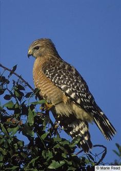 Red-shouldered hawk spotted/heard at Wendell State Forest today.