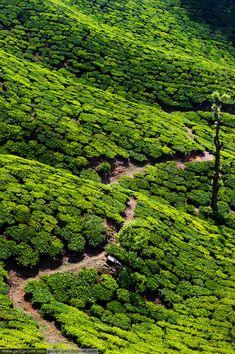Tea Plantations - Kerala, India