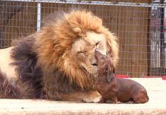 lion, anim, big cats, dogs, dachshund, pet, puppi, 5 years, friend