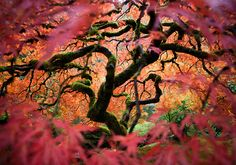 Photo: Japanese maple tree