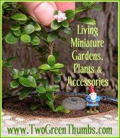 From an old advertisement: Serissa Flore Pleno ~ A terrific miniature garden tree (for bonsai too.)