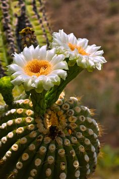 cactus flower, barrel cactus