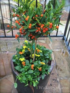 """This little citrus tree was given to me by one of my nurseries to """"test drive"""" through the winter. I planted it up with some 'Citrus' Violas and placed it at one of my client's homes in a sunny, exposed area. *fingers crossed* Let's hope it truly is hardy to Zone 6 (we're in Zone 7B here in Georgia). We'll continue to feed it some of @Authentic Haven Natural Brew through the winter."""