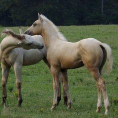 Good looking quarter horse foals!!