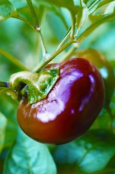 Heirloom. I want to grow these. I LOVE hot cherry peppers.