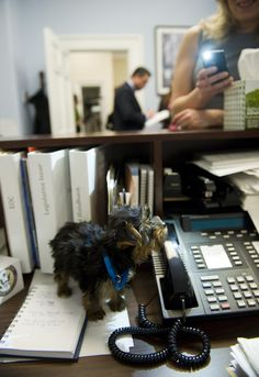 MARCH 30, 2011: Sebastian, a 9-week-old rescue dog, explores a desk in the Cannon Building office of his new master Rep. Michael Grimm, R-N.Y., seen in the background. He adopted him after the Yorkshire Terrier was rescued by the Humane Society of the United States and Columbia Second Chance, in a Missouri puppy mill. Sebastian will split his time with Grimm and staff members in Washington and New York. (Photo By Tom Williams/Roll Call)