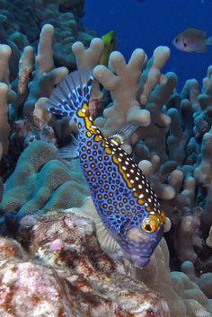 Keauhou, Hawaii- Blue Parrot Triggerfish~!