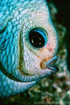 Three spot dascyllus fish