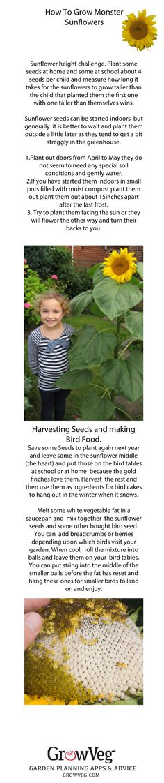How to grow MONSTER sunflowers, how to run a sunflower challenge, how to harvest the seeds and how to make bird food with them, great for either school or home.