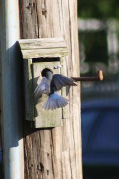 Blue Bird at nest