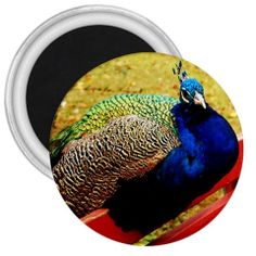 Resting Peacock 3 inch round magnet by KLord89 on Etsy, $3.00
