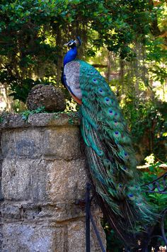 Male Peacock - the most beautiful bird I know.