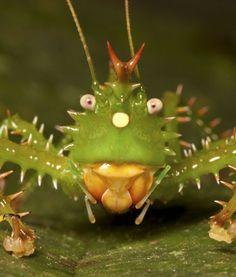 spiny devil katydid. i want one! :)
