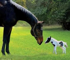 """World's smallest horse asking a very large friend, """"How's the weather up there?"""""""