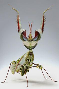 the Devil's Flower Mantis