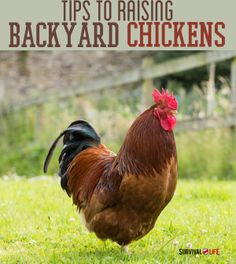 Raising Backyard Chickens | How To, Tips and Ideas