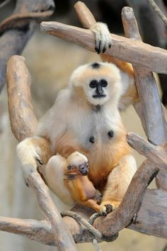 Brookfield-Zoo---White-Cheeked-Gibbon2