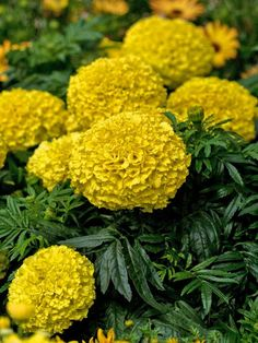 'Moonstruck Lemon Yellow' Marigold