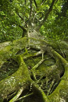 Arbol en el parque nacional Henri Pittier.El Limon, Aragua. Venezuela