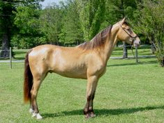 Breed: Tennessee Walker Horse