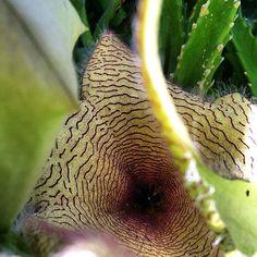 Close up of Stapelia gigantea flower.