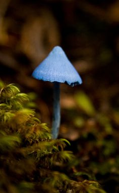 Sky Blue Mushroom.