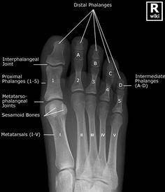 Radiographic Anatomy - Toes AP