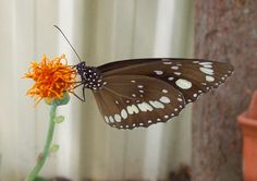 . mariposa
