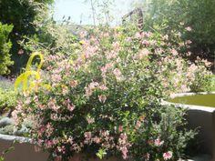 Pam's Pink Honeysuckle-Desert Botanical Garden
